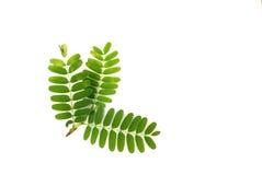 Tamarind leaf. Isolated on white background Stock Photos