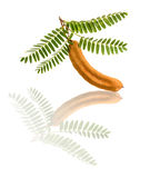 Tamarind with leaf Royalty Free Stock Photos