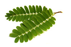 tamarind leafs royalty free stock photography