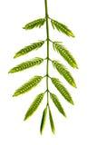 Tamarind leaves Stock Photos