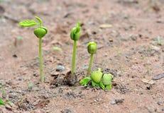 Tamarind seedlings Royalty Free Stock Images
