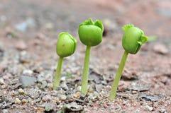 Tamarind seedlings Stock Photo