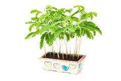 Tamarind sprout Stock Photos
