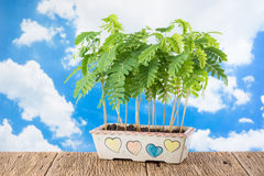 Tamarind sprout Royalty Free Stock Photo