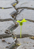 Tamarind sprout. Grows through pavement block Stock Photography