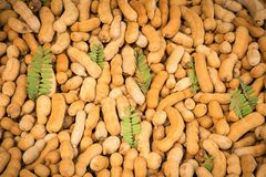 Tamarind. Sweet tamarind delicious in Thailand royalty free stock image