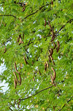 Tamarind on tree Royalty Free Stock Image