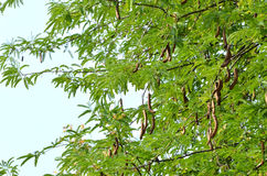 Tamarind on tree Stock Images