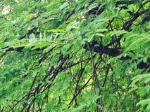 Tamarind Stock Photos