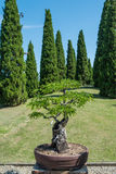 Tamarind tree as bonsai. In a vase royalty free stock photography