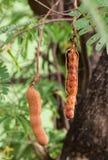 Tamarind on tree Stock Photo