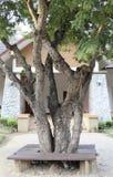 Tamarind tree Royalty Free Stock Photos