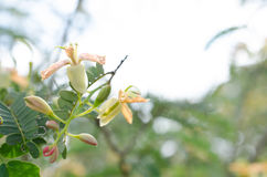 Tamarind tree blooming and bountiful natural, chemical-free and. Clean Royalty Free Stock Image