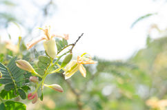 Tamarind tree blooming and bountiful natural, chemical-free and. Clean Royalty Free Stock Images