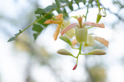 Tamarind tree blooming and bountiful natural, chemical-free and Stock Photography
