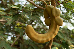 Tamarind tree Stock Photos