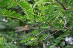 Tamarind tree. Dragonfly tamarind tree on the island in the morning Stock Images