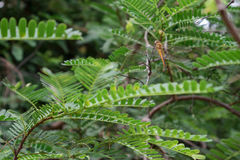 Tamarind tree. Dragonfly tamarind tree on the island in the morning Royalty Free Stock Photos