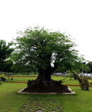 Tamarind tree Royalty Free Stock Image