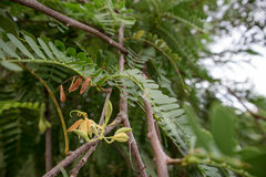 Tamarind tree. Flowers in the morning Royalty Free Stock Image