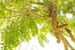 Tamarind tree in the garden. Tamarind tree in the garden with blurry background Stock Photos