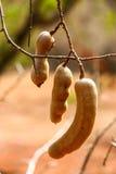 Tamarind on tree Stock Image