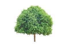 Tamarind tree over white Royalty Free Stock Images