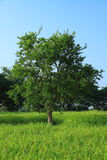 Tamarind tree in the rice farm royalty free stock images