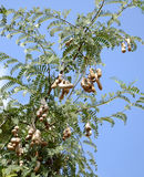 TAMARIND TREE Royalty Free Stock Photos