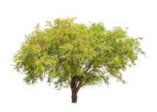 Tamarind tree (Tamarindus indica) tropical tree in Thailand Stock Image
