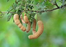 Tamarind on the tree Royalty Free Stock Photography