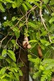 Tamarind on the tree Royalty Free Stock Photo