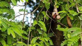 Tamarind on the tree Stock Photos
