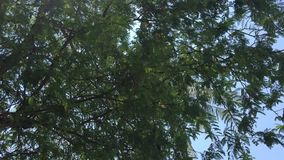 Tamarind trees at the park. In Can Tho city, Vietnam stock footage