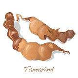 Tamarind vector  Royalty Free Stock Images