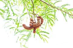 Tamarinde op de installatie van de bomenaard Stock Afbeelding