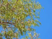 Tamarinde skys stock foto