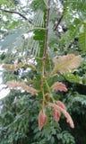 Tamarinde und Ameisen Lizenzfreies Stockfoto