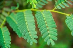 Tamarindebladeren Stock Afbeeldingen