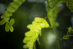 Tamarindebladeren Stock Foto's