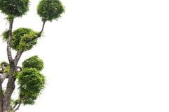 Tamarindenbaum auf weißem Hintergrund, grüner Hintergrund Stockbild