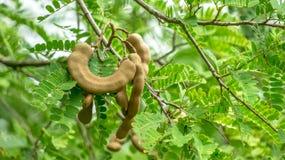 Tamarindenbaum mit Samen Lizenzfreie Stockbilder