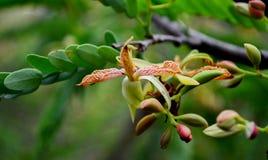Tamarindenblume Stockbilder