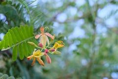 Tamarindenblume Lizenzfreie Stockbilder