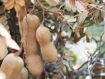 tamarindfrukt Royaltyfri Fotografi