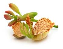 Tamarindfruktblomma Royaltyfri Fotografi