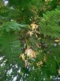 tamarindfruktblomma Royaltyfria Foton