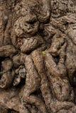 Tamarindfruktträd Royaltyfri Foto