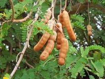 Tamarindfruktträd Royaltyfria Bilder