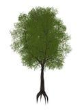 Tamarindfruktträd, indica tamarindus - 3D framför Arkivbilder
